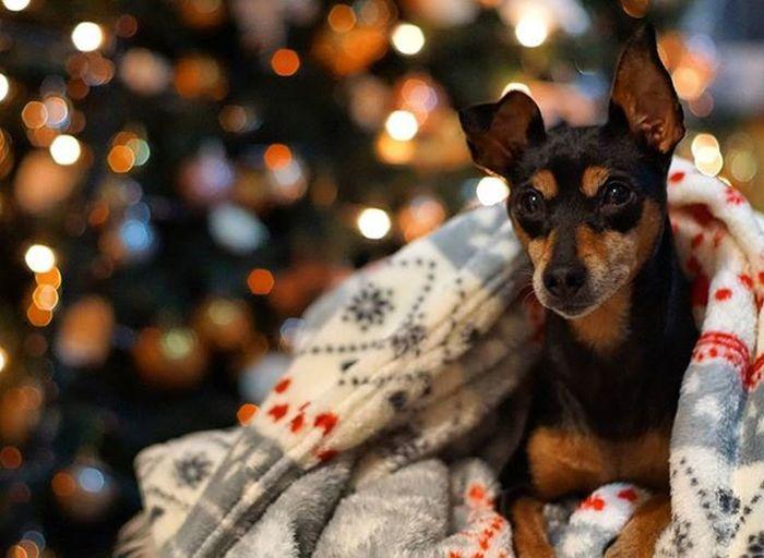 Dobermannpinscher Rescuedog Zwergpinscher Minipin Pincher Pinscher Cutedog Puppy Diva Bokeh Lights Christmasdecorations Xmas Chiuaua Little Happy