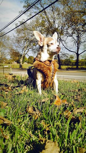 My dog chip in his Chewbacca harness Dogslife Dogsofeyeem Chihuahua Love
