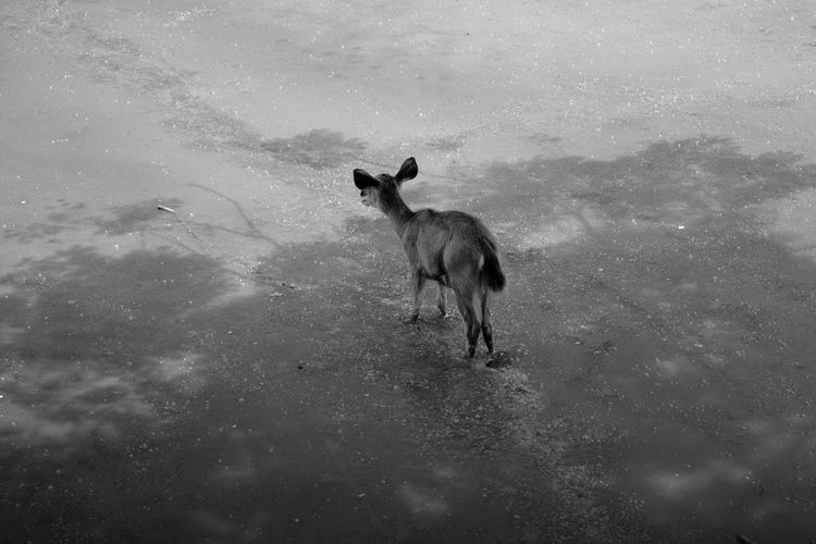 Lonely Deer II (Black & White). Alone Animal Themes Animals In The Wild Blackandwhite Day Deer Domestic Animals EyeEm Best Shots EyeEm Nature Lover Forest Light And Shadow Mammal Moss Nature No People One Animal Outdoors Standing Water The Great Outdoors - 2017 EyeEm Awards The Photojournalist - 2017 EyeEm Awards EyeEmNewHere Breathing Space