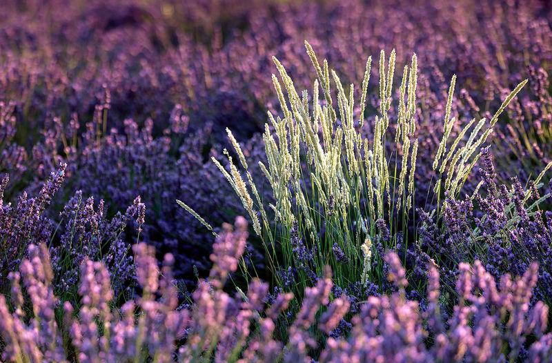 Close-up of fresh purple flowers in field