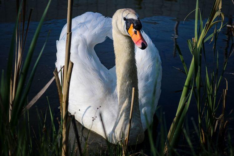 Schwan im Teich Wildlife Natur Tiere Schwan  Vogel Wasser Schilf Schilfgras Wasservogel Weiss Blau Grün Teich Wasser Water Bird Swan Water Bird Swimming Animal White Swan