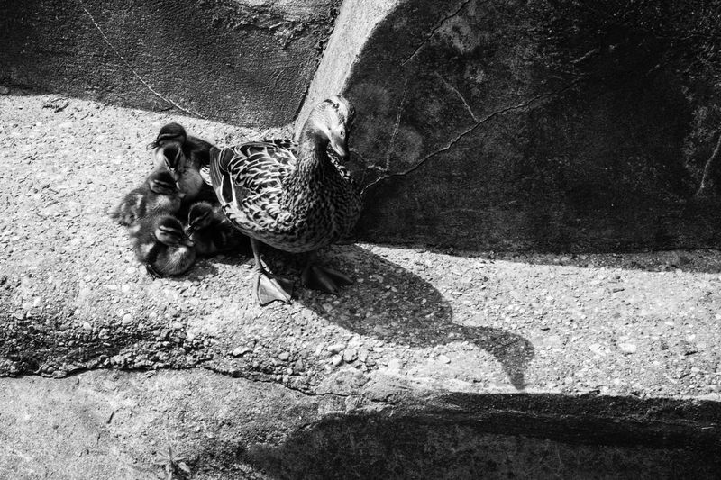 Alertness Animal Themes Asphalt Babies Birds Black And White Blackandwhite Duck Ground High Angle View Love Outdoors Protecting What We Love Shadow Stone Street Textured  Zoology B&w Street Photography RePicture Growth Black & White Telling Stories Differently Fine Art Photography