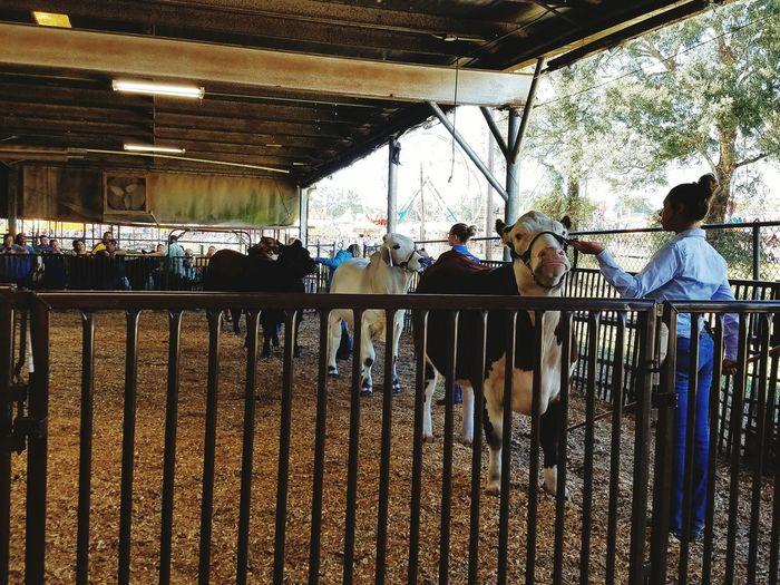 Livestock show Day Livestock Show Animaljudging 4-H Futurefarmersofamerica