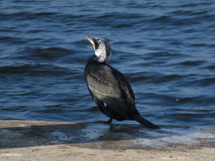 Bird Water Sea Perching Swimming Beak Animal Themes Close-up Cormorant