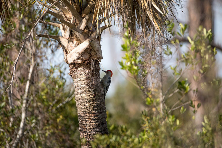Red-bellied woodpecker Melanerpes carolinus pecks at a palm tree in Naples, Florida Melanerpes Carolinus Naples Nature Red Head Red-bellied Woodpecker Tree Animal Themes Animal Wildlife Animals In The Wild Bird Birds Day Florida Nature No People One Animal Outdoors Tree Woodpecker