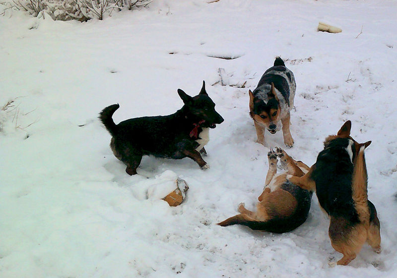 Animal Animal Head  Animal Themes Carefree Cold Temperature Corgi Corgimix Dog Dogs Dogslife Domestic Animals Full Length Landscape Mammal Pets Relaxation Relaxing Sitting Snow Snowy Snowy Days... Snowy Landscape Winter