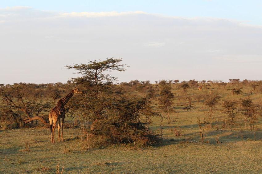 Animals Animals In The Wild Giraffe Kenya Masai Mara Nature Nature_collection Safari Animals Savannah Sunset Sunset_collection Wildlife & Nature