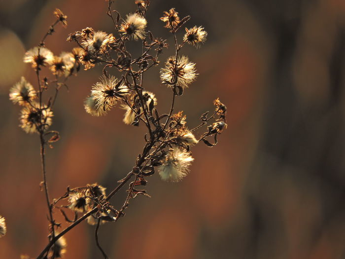 Plant Flower Flowering Plant Fragility Focus On Foreground Vulnerability  Close-up Growth Beauty In Nature Nature No People Freshness Dry Selective Focus Day Flower Head Sunlight Outdoors Plant Stem Tranquility Wilted Plant Dead Plant Dried