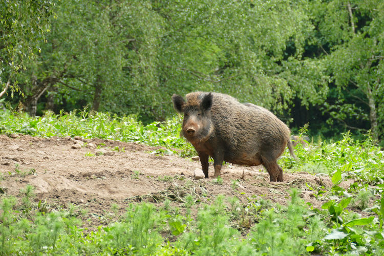 Wild boar on a clearing, wildlife in germany