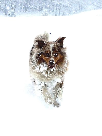 Snowdog Snowball Wet Dog Cool Chilly Weather. Australianshepherd My Best Friend FUNNY ANIMALS You Are Beautiful Dogs Life Running In The Snow Snowy Day Dog Ball Weekend Activities Excited Happy Dog Easy Life Photography In Motion