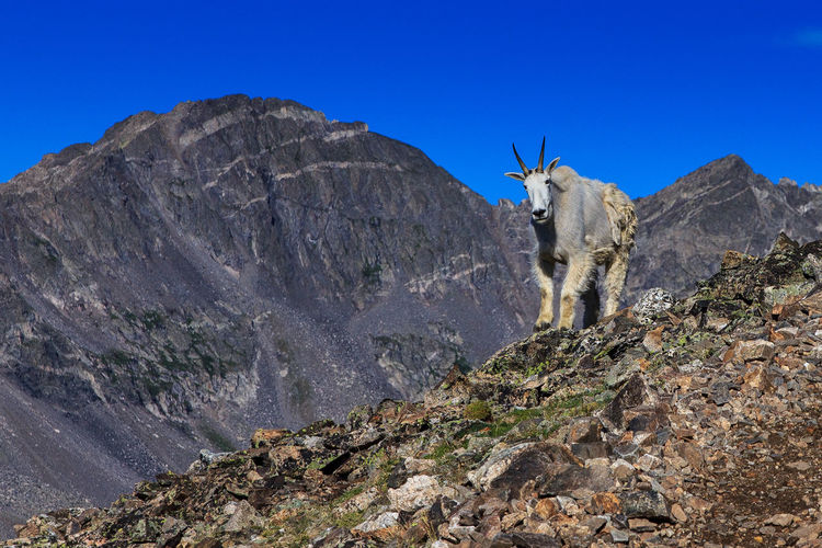 A mountain goat stands his ground on Mount Quandary in Colorado. 14 14000ft Been There. Colorado Goat Rain Adventure Blue Clear Sky Mountain Nature No People One Animal Outdoors Rocky Mountains Sky Summer