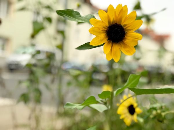 Sunflower in the city Nobody Copy Space Flower City Urban Sunflower Flowering Plant Flower Yellow Freshness Plant Fragility Growth Flower Head Beauty In Nature Focus On Foreground No People Close-up
