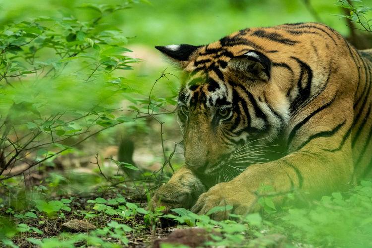 Wild male tiger