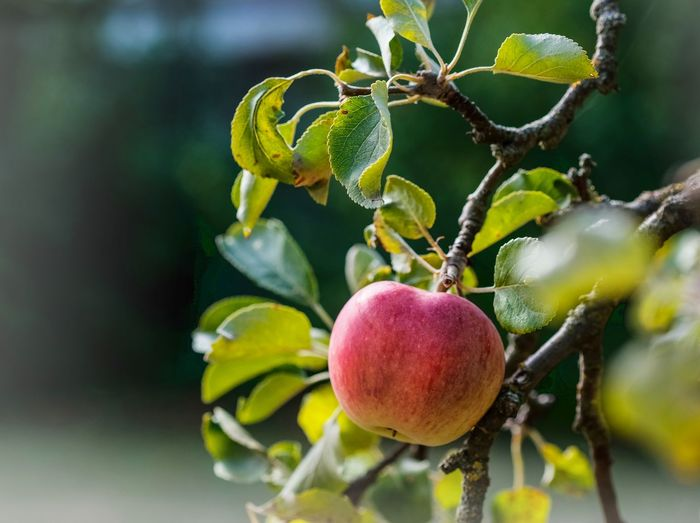 Apfelernte Apple - Fruit Apple Tree Beauty In Nature Branch Close-up Day Focus On Foreground Food Food And Drink Freshness Fruit Growth Healthy Eating Leaf Nature No People Outdoors Plant Plant Part Ripe Tree Wellbeing äpfel Am Baum