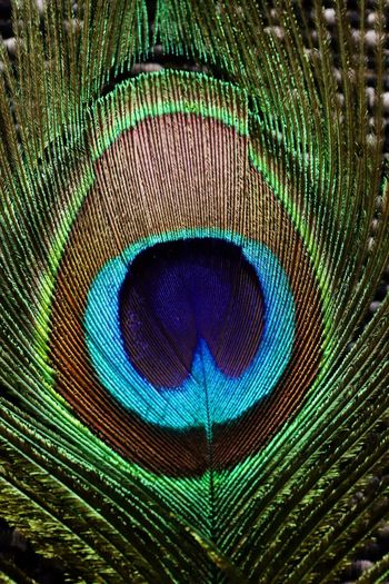 Full frame shot of peacock feathers