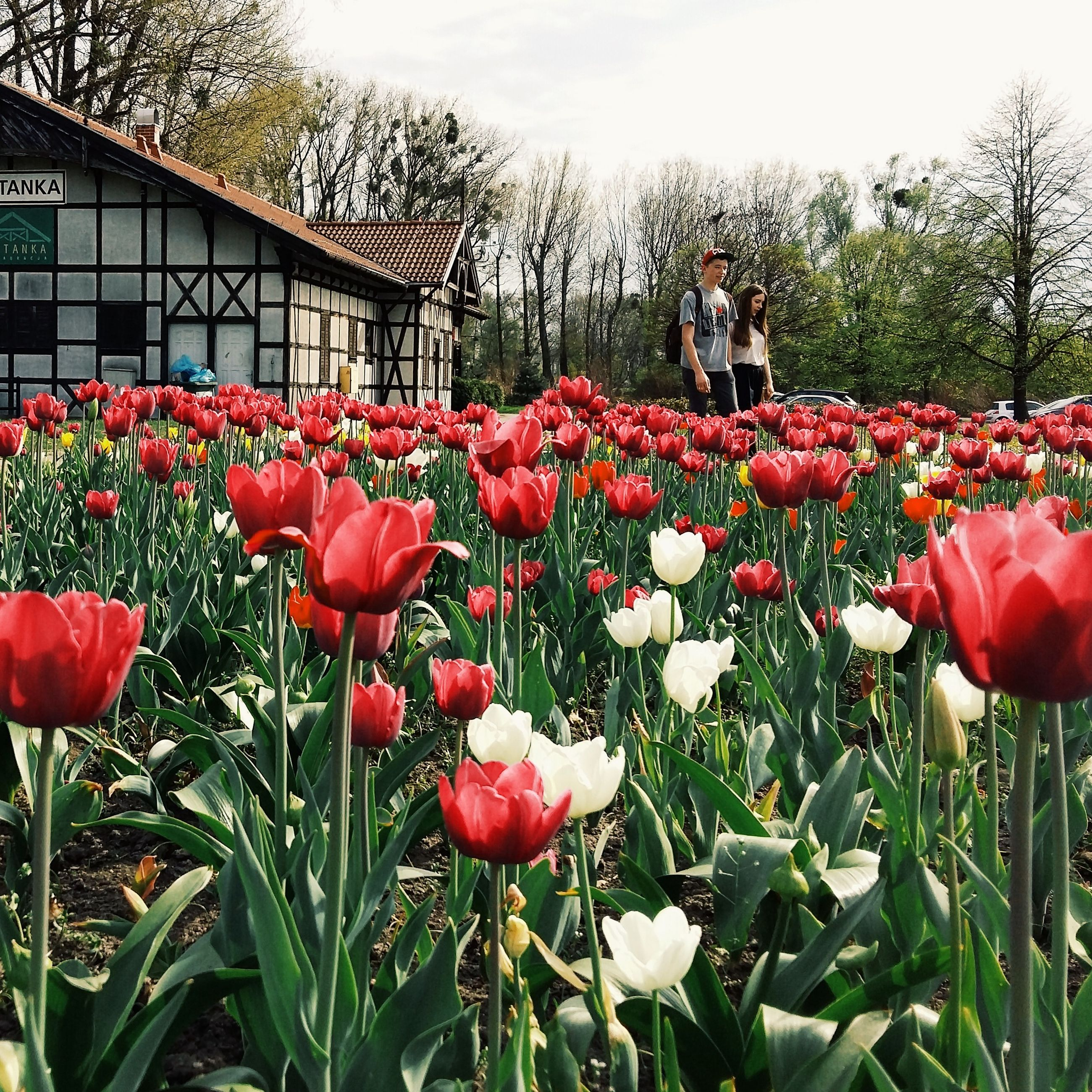flower, freshness, fragility, petal, tulip, growth, beauty in nature, flower head, blooming, nature, field, plant, pink color, sky, park - man made space, blossom, in bloom, flowerbed, red, day