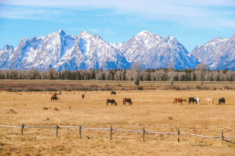 Horses in grand teton national park wyoming landscape