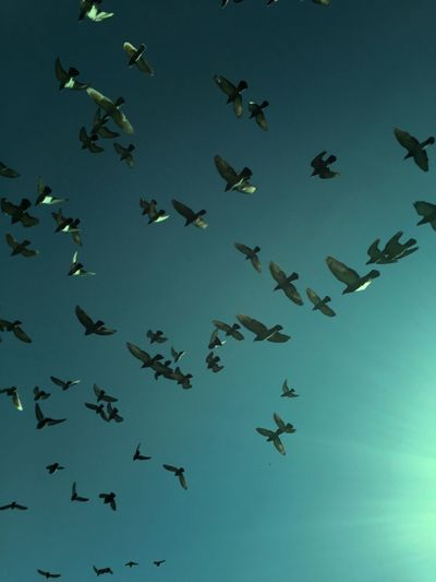 Large Group Of Animals Flying Flock Of Birds Bird Mid-air Animal Themes Animals In The Wild Animal Wildlife Sky Formation Flying Abundance Motion Low Angle View Outdoors Migrating Colony No People Flamingo Spread Wings Day
