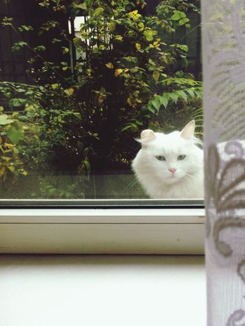 Domestic Cat Window Pets Animal Themes Domestic Animals Feline One Animal Mammal Cat Portrait Looking At Camera Window Sill Day Indoors  Whisker Looking Through Window No People Nature Close-up White Cat Sitting Angry Sceptical Emotions