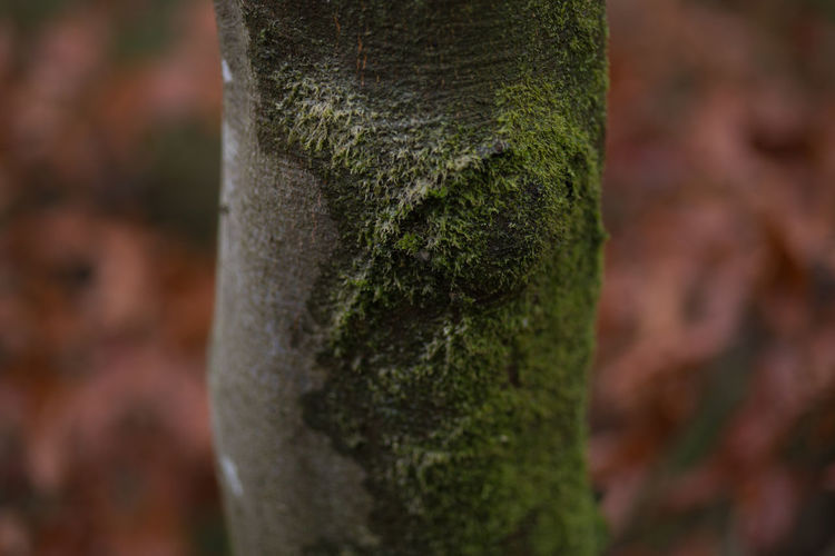 Trunk Tree Trunk Tree Plant Close-up Moss Growth Selective Focus No People Textured  Nature Day Focus On Foreground Outdoors Green Color Beauty In Nature Plant Bark Forest Land Bark Textured Effect Autumn England