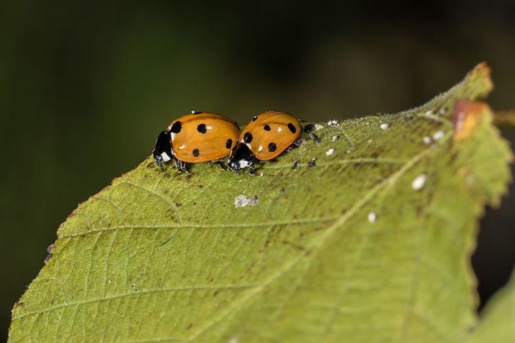 Ladybug,