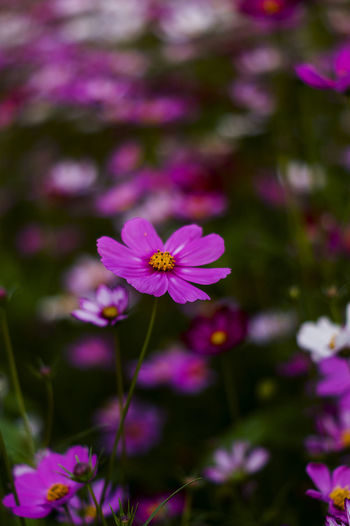 Galsang Flower Beauty In Nature Close-up Day Flower Flower Head Flowering Plant Focus On Foreground Fragility Freshness Growth Inflorescence Nature No People Outdoors Petal Pink Color Plant Pollen Purple Vulnerability