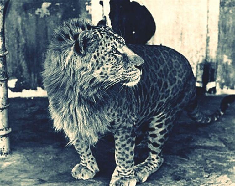 Lion Lepord Hybrid mix