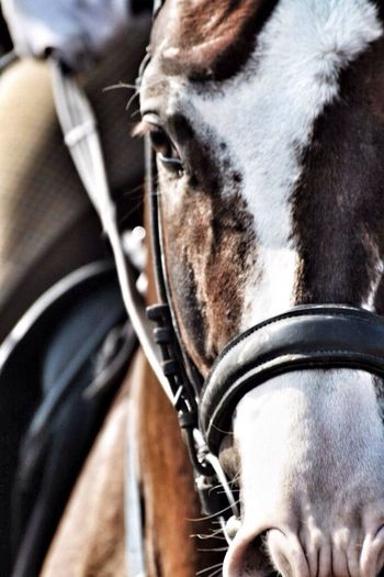 Лошади нашей спортивной школы?. Викинг.