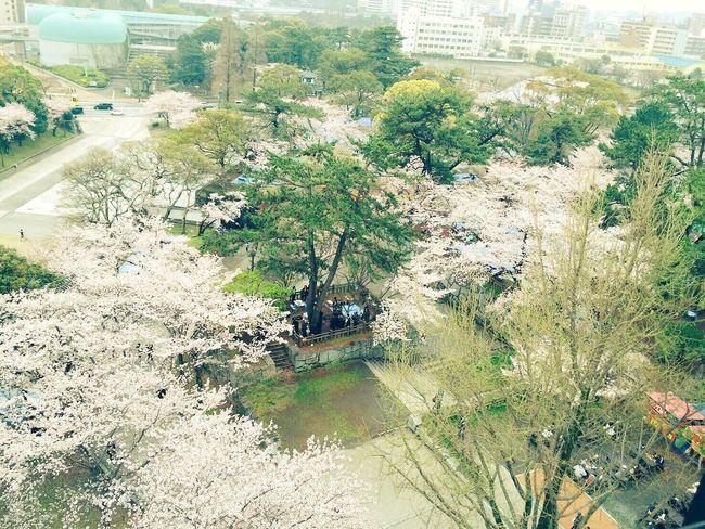 Japanese cherry tree Japan Fukuoka City