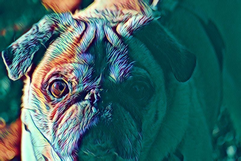 Bugenhagen Cyber Pug Pug Life  Pets Domestic Animals Animal Themes One Animal Mammal Dog Indoors