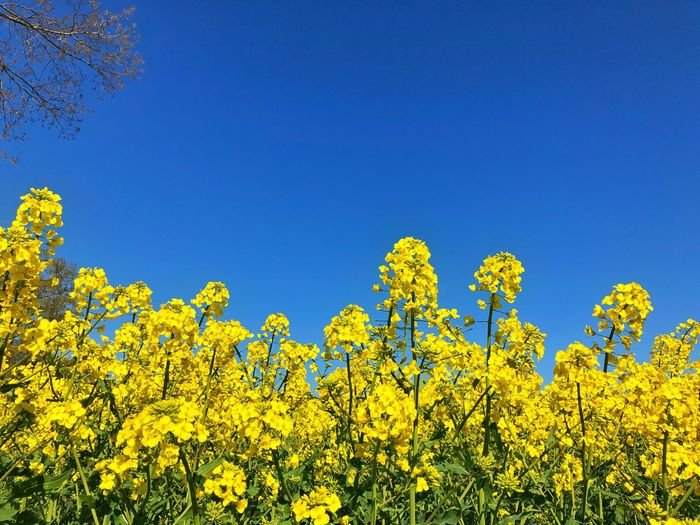 Field Colza Rapeseed Yellow Nature Sky Horizon Blue Plant Flower Agriculture Beauty In Nature Landscape Flowering Plant Clear Sky Growth Oilseed Rape Scenics - Nature Land Freshness Rural Scene Crop  Springtime Environment No People Outdoors