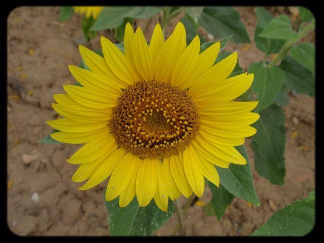 Flowers Sunflower Flower Shot Landscape