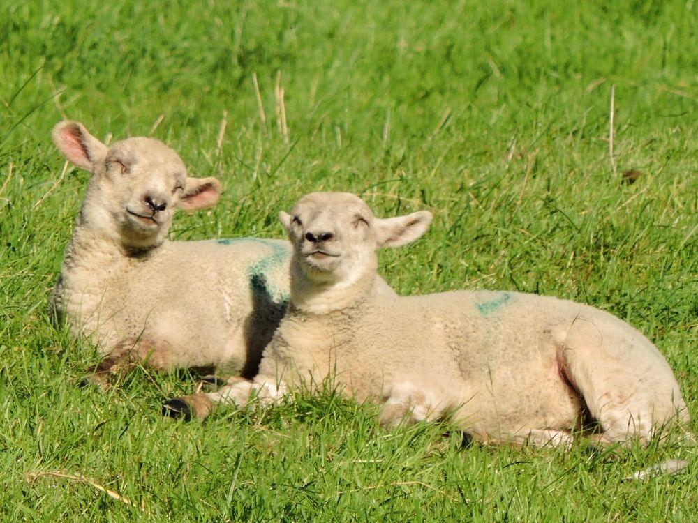 Animal Head  Animal Themes Countryside Farmanimals Field Grass Lambs Livestock Mammal Relaxation Relaxing Sheep Springtime Two Animals
