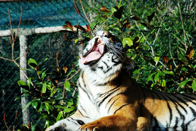 Side View Of A Tiger Yawning