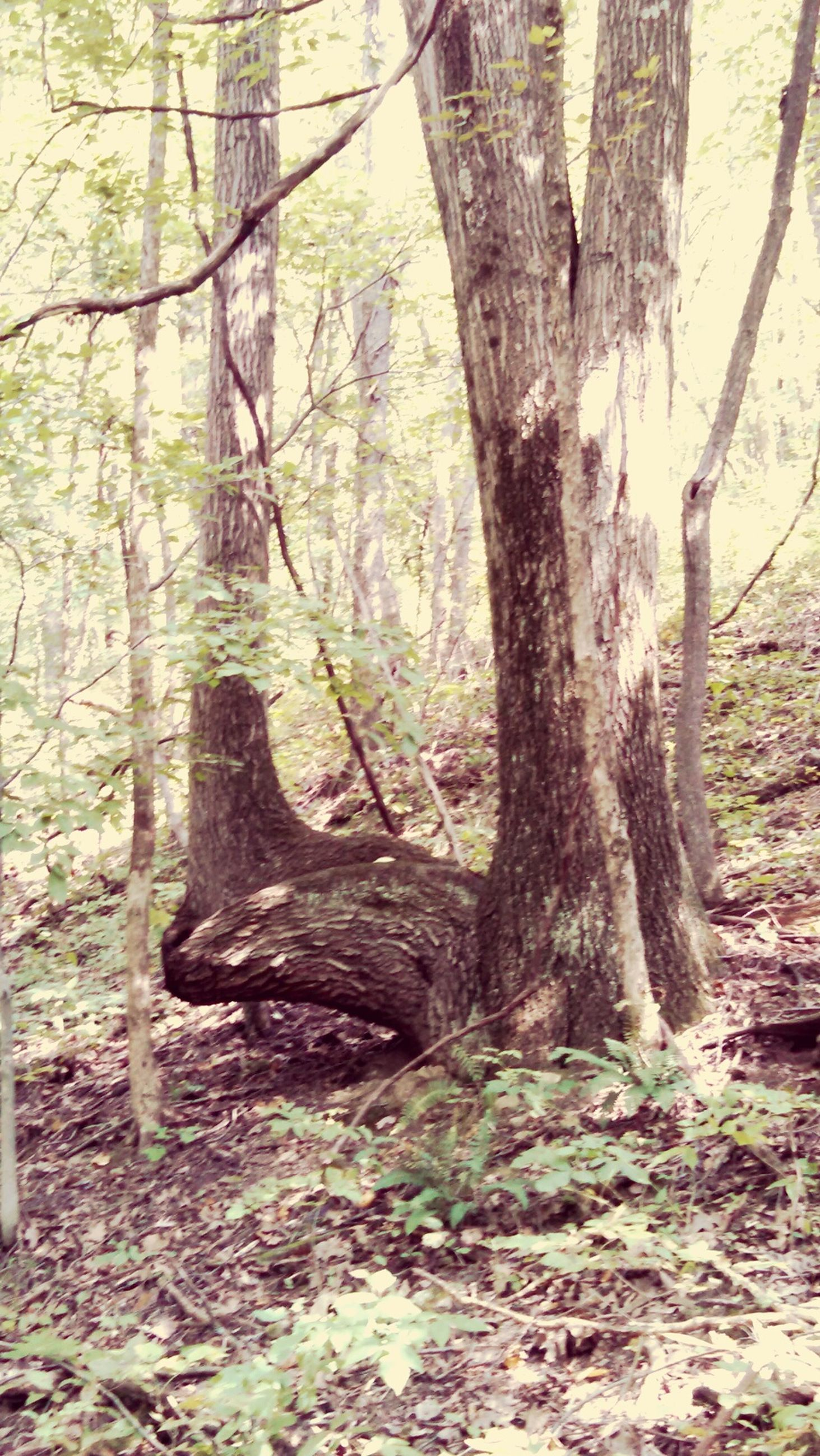 tree trunk, tree, forest, woodland, growth, branch, nature, tranquility, day, beauty in nature, wood - material, tranquil scene, no people, outdoors, root, sunlight, non-urban scene, landscape, woods, growing