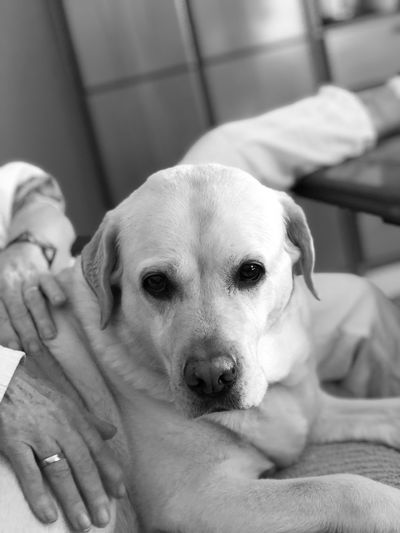 Yellow lab and my mothers hands Blackandwhite Photography Available Light Mothers Hands Humans Hands Dog Canine Dog One Animal Domestic Pets Domestic Animals This Is Family Indoors  Portrait People Real People Relaxation Looking At Camera Home Interior Focus On Foreground