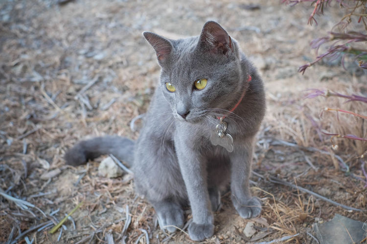 Full length of a cat looking away
