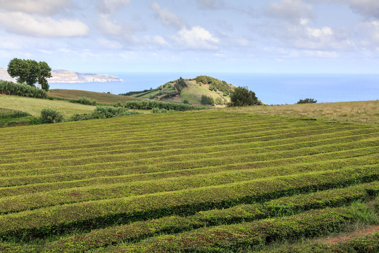 Tea Plantation  Azores, S. Miguel Azores Islands Landscape Sky Environment Beauty In Nature Scenics - Nature Tranquil Scene Tranquility Land Cloud - Sky Plant Field Green Color Growth Agriculture No People Rural Scene Nature Farm Day Tree Outdoors Plantation