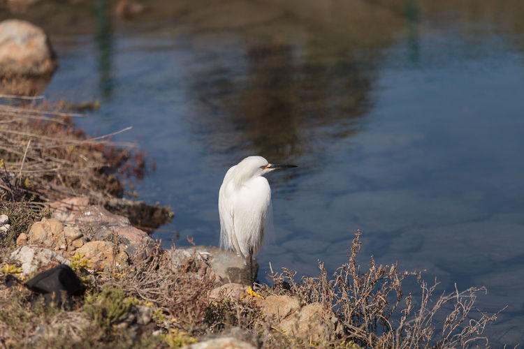 Snowy Egret On Lakeshore