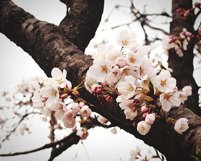 桜 サクラ Sakura Cherry Blossoms EyeEmNewHere