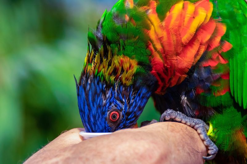 Looking At Camera Eating Hungry Parrot Human Hand Hand Human Body Part Real People Vertebrate One Person Body Part One Animal Bird Animal Wildlife Animals In The Wild Focus On Foreground Close-up Human Finger Finger Rainbow Lorikeet Tropical Bird Personal Perspective The Traveler - 2018 EyeEm Awards The Great Outdoors - 2018 EyeEm Awards My Best Photo