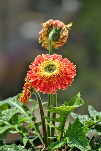 Flower Nature Plant Flower Head Beauty In Nature Outdoors Green Color Freshness No People Close-up Poppy Fragility Zinnia  Day Zerbera Flower