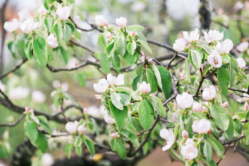 Beauty In Nature Blossom Bunch Of Flowers Close-up Day Flower Flower Head Flowering Plant Focus On Foreground Fragility Freshness Growth Inflorescence Leaf Nature No People Outdoors Petal Plant Plant Part Quince Spring Springtime Vulnerability  White Color