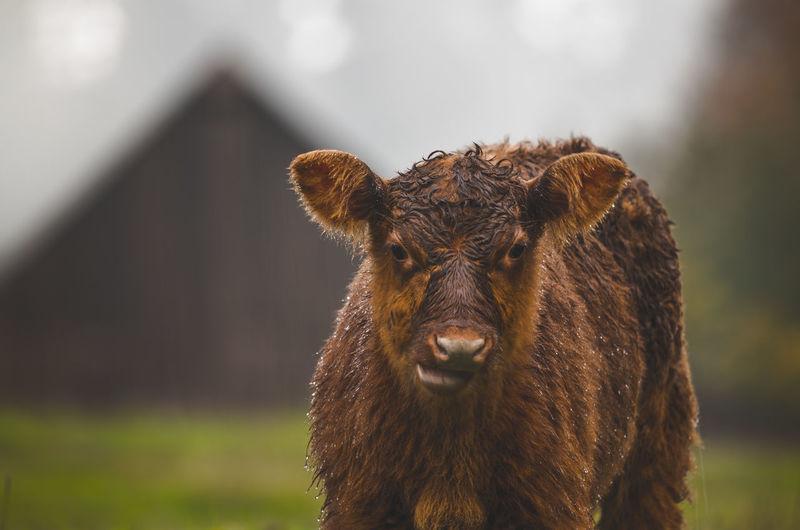 Close-up portrait of wet cow