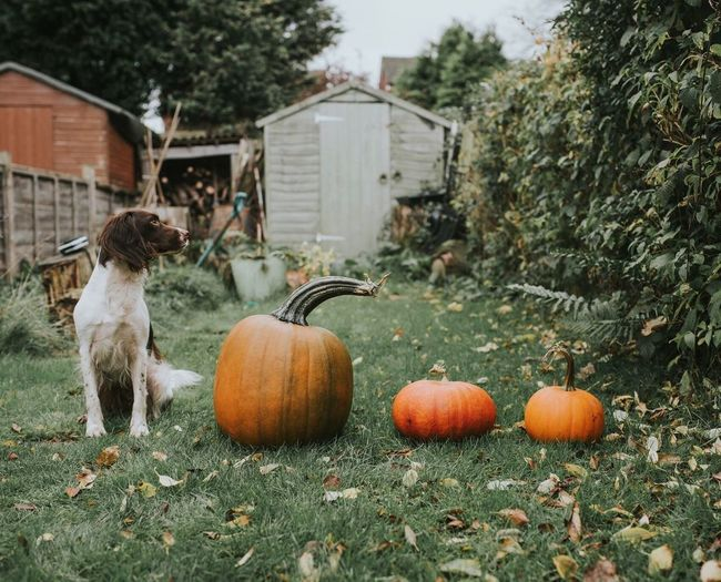 Dog Sitting By Pumpkins On Field