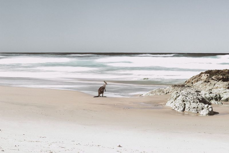 Beach EyeEmNewHere Kangaroo Australia Stradbroke Island Sea Water Sand Horizon Over Water Beauty In Nature Nature Scenics Tranquility Outdoors Wave Wildlife Wildlife Photography Wildlife & Nature EyeEmNewHere TheWeekOnEyeEM The Week On EyeEm Kangourou #FREIHEITBERLIN