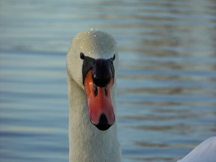 Close-up of swan swimming in pond