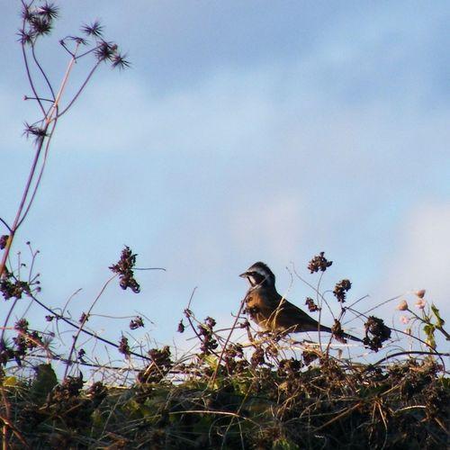 _Emberiza cioides_ Meadow Bunting Bird Wildlife Nature
