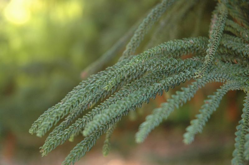 Araucaria Columnaris Orto Botanico Rome Italy 3XSPUnity Nature Growth Green Color Close-up Plant Beauty In Nature Focus On Foreground Leaf No People Outdoors Day EyeEm Nature Lover EyeEm Gallery EyeEm Best Shots - Nature
