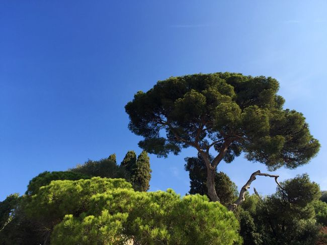 Pine trees along the Mediterranean Sea Mediterranean  Mediterranean Nature Mediterranean Coast Blue Sky Sunny Day Pine Tree Pinetrees Pine Trees Tree Clear Sky Low Angle View No People Nature Day Beauty In Nature Green Color Scenics Outdoors Blue Sky Growth Tree Trunk Branches Sunshine French Riviera